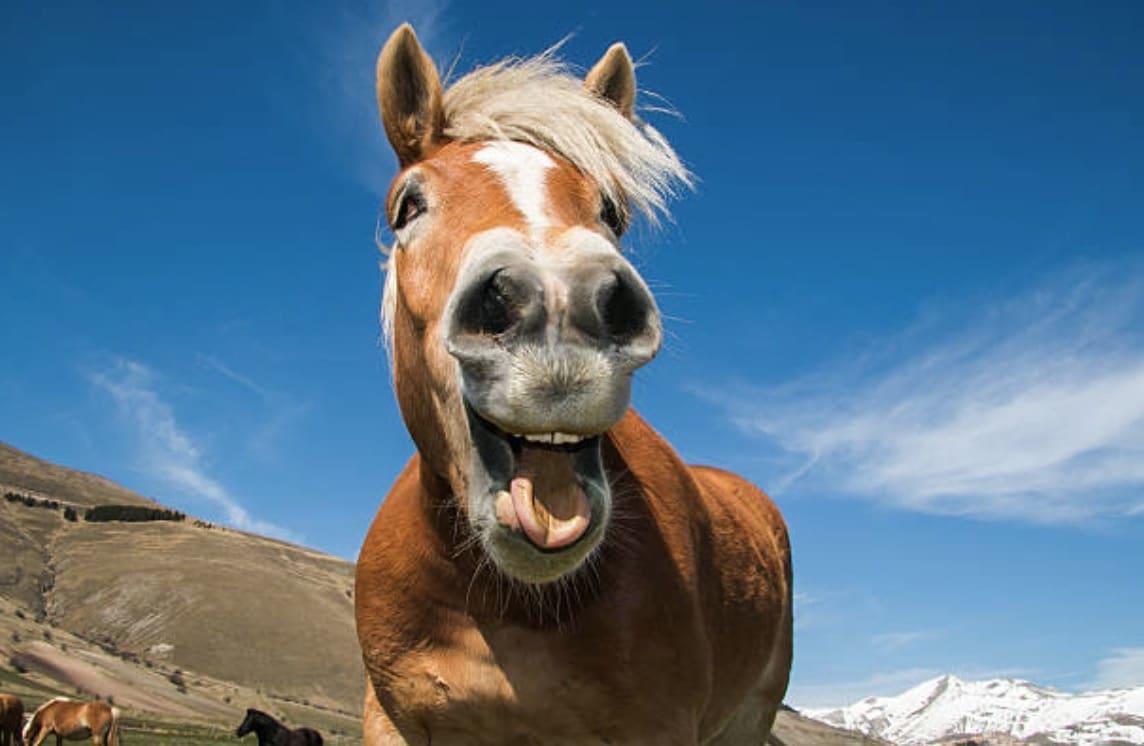 cheval hennit