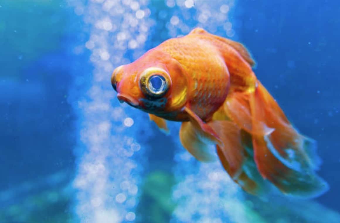les poissons rouges ont ils vraiment une mauvaise m moire. Black Bedroom Furniture Sets. Home Design Ideas