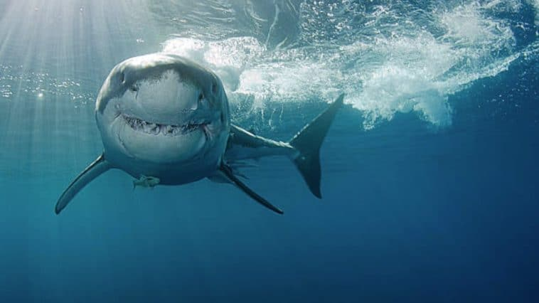 grand requin blanc