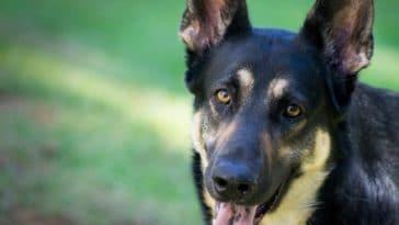 chien berger allemand portrait