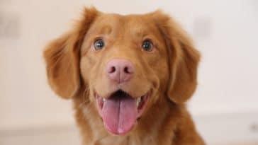 chien marron heureux content