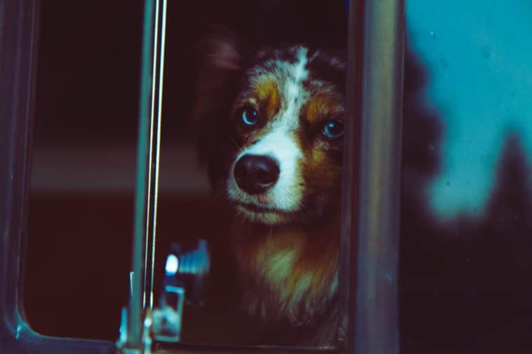 chien triste berger australien