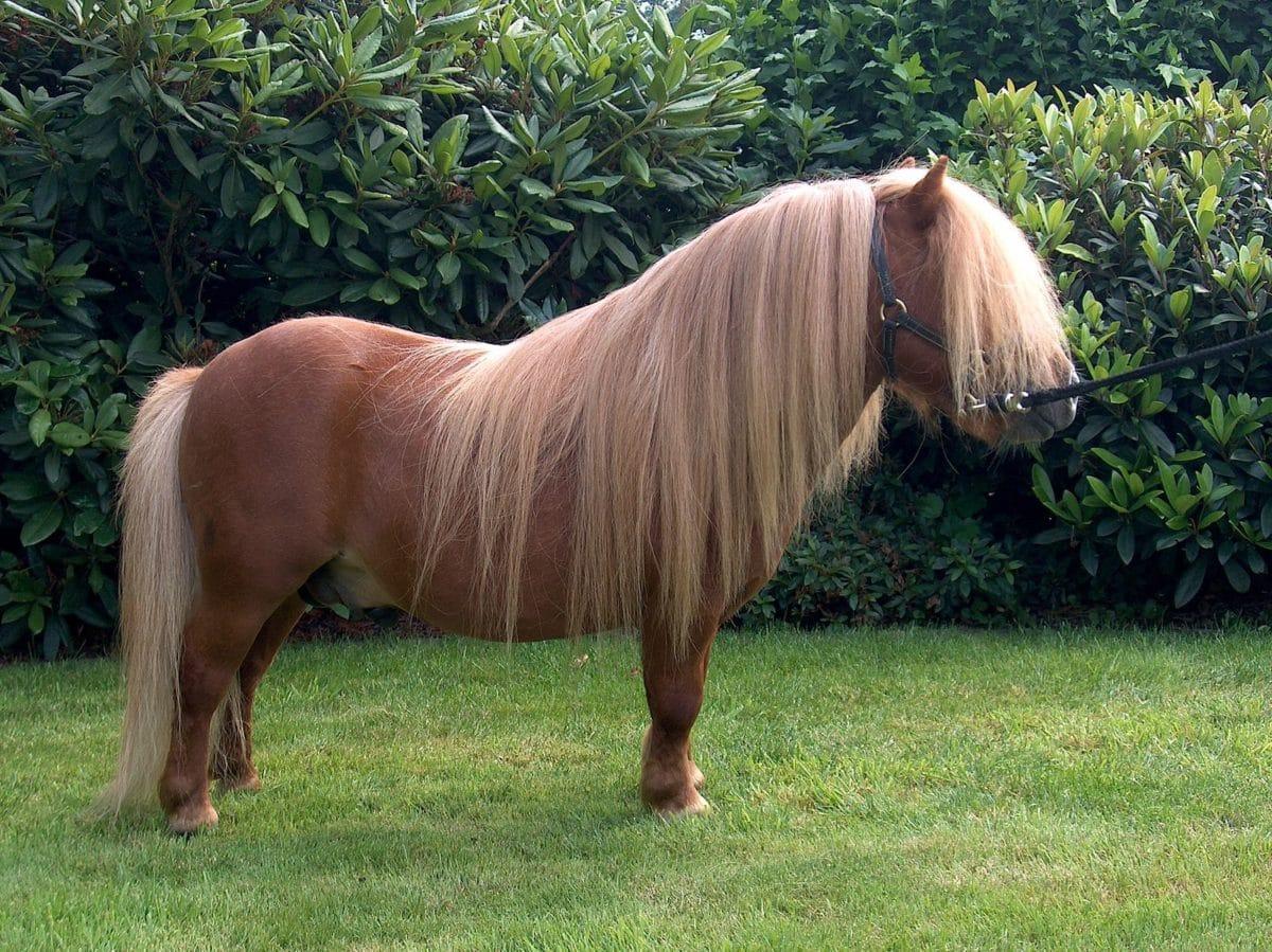 poney des shetland