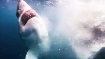 requin mange baleine