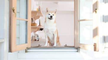 chien shiba inu fenêtre