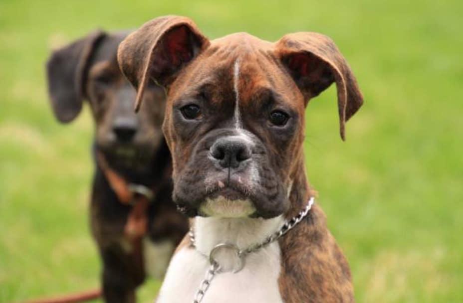 chien chiot boxer collier étrangleur