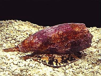 coquillage conus