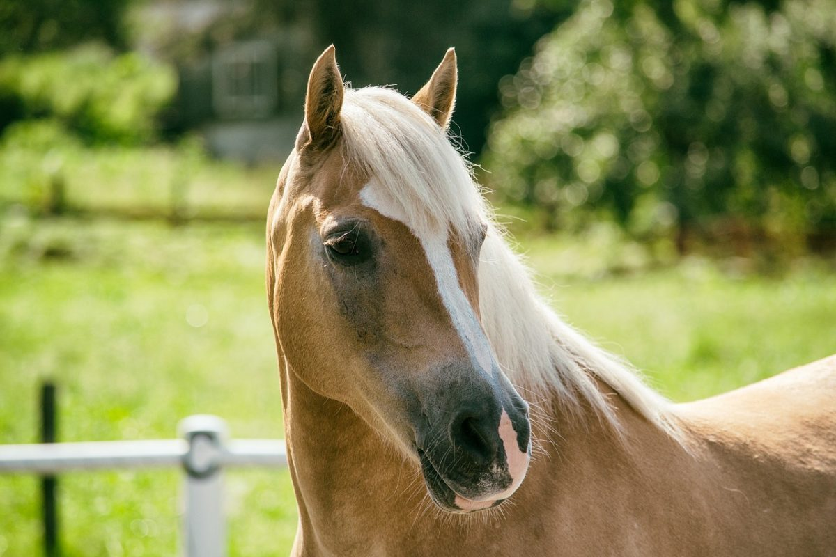 poney haflinger