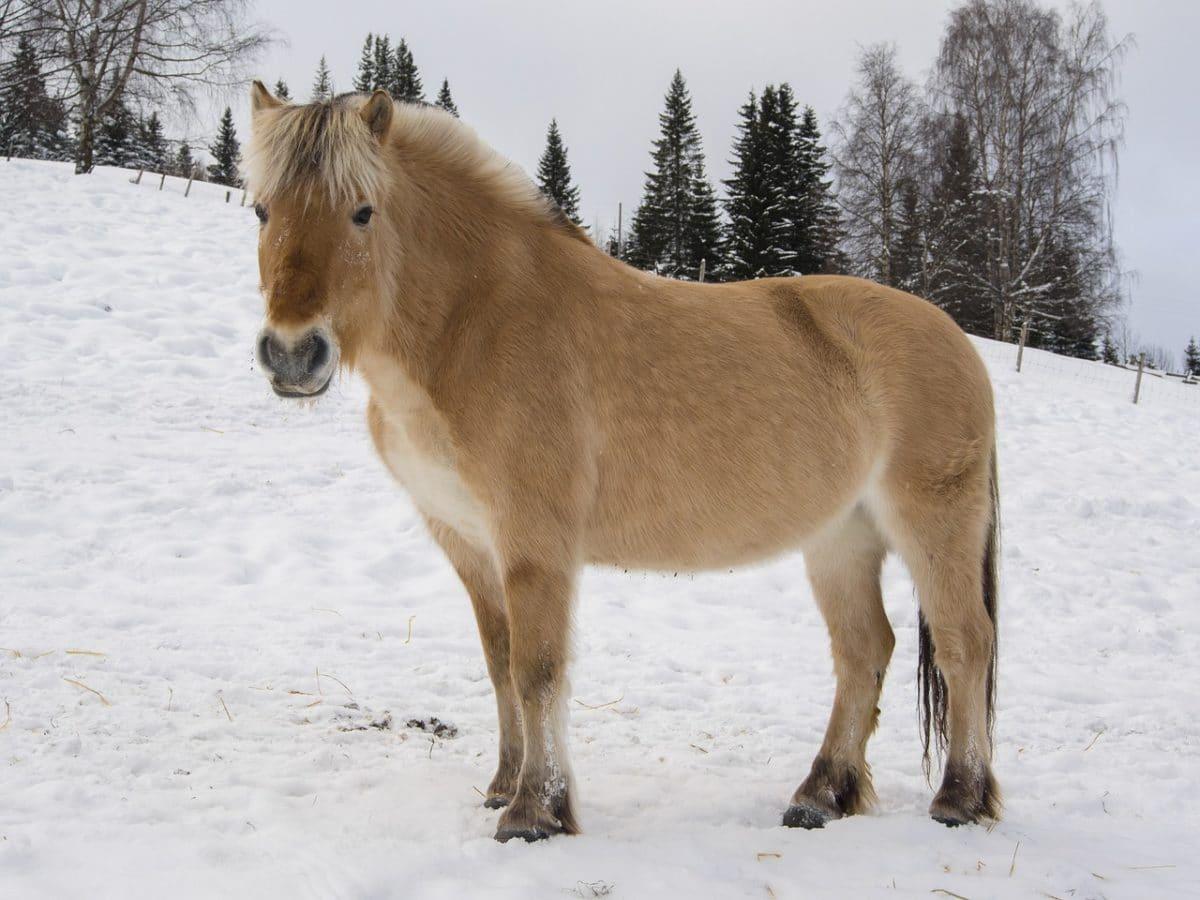 poney fjord