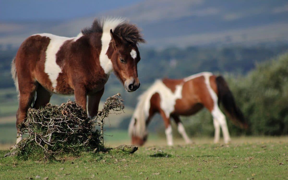 poneys dartmoor