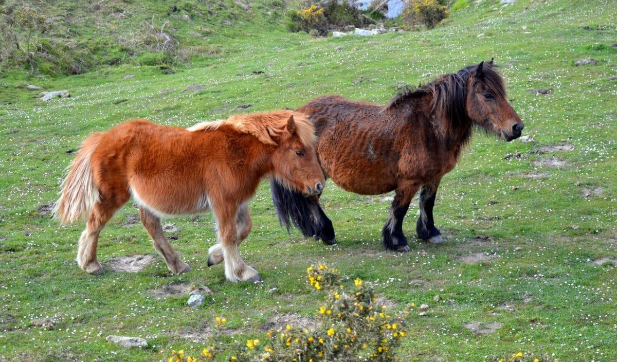 poneys pottok