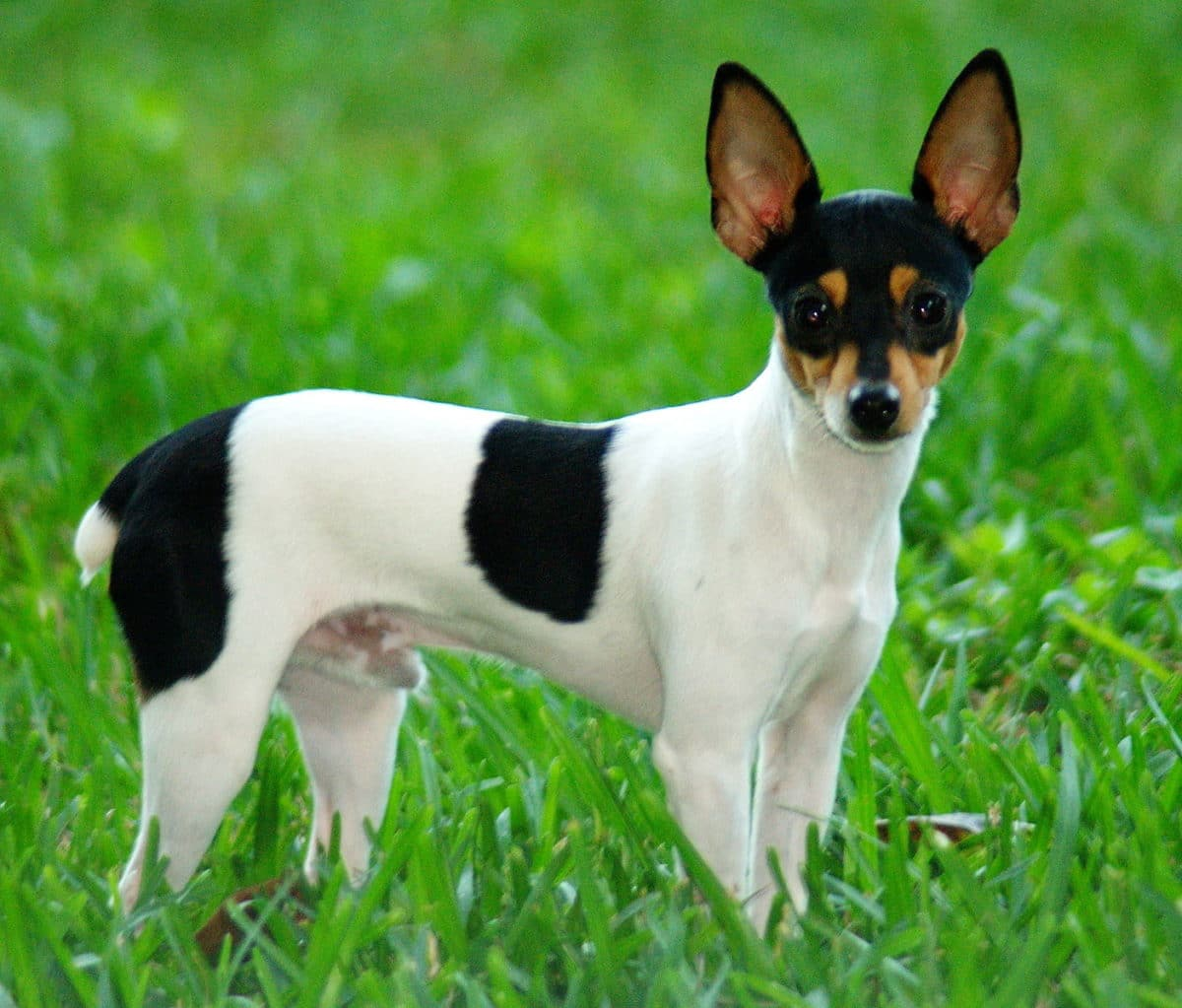 chien toy fox terrier