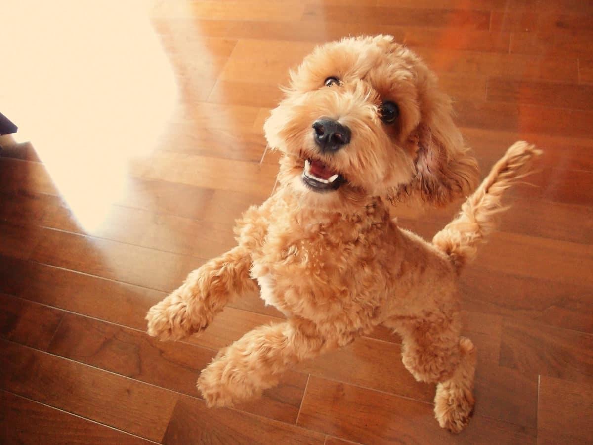 chien cockapoo
