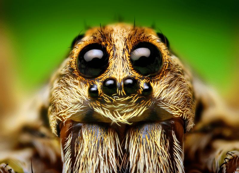 araignée loup