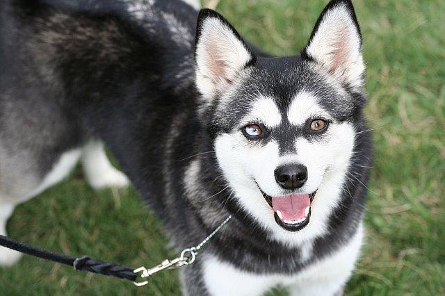 chien alaskan klee kai