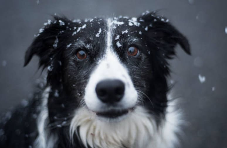 chien border collie neige froid hiver