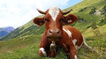 vache cloche