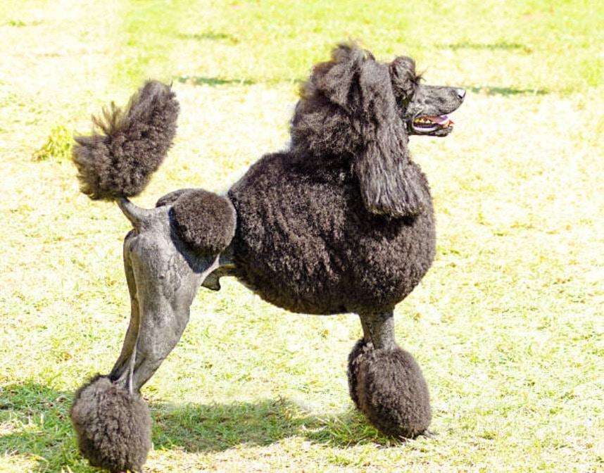 chien caniche