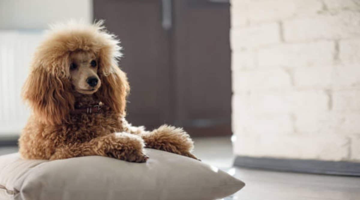 chien caniche couché