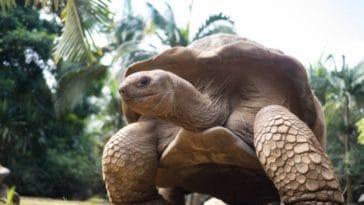 tortue géante