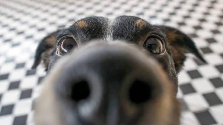 chien museau
