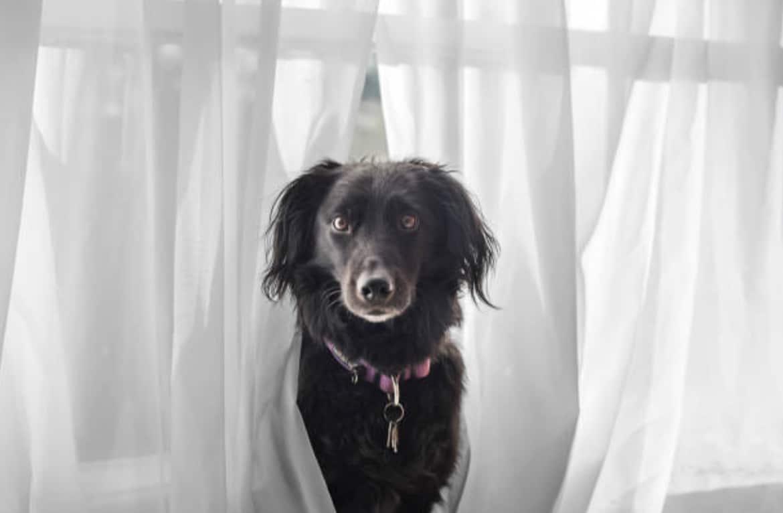 chien rideaux