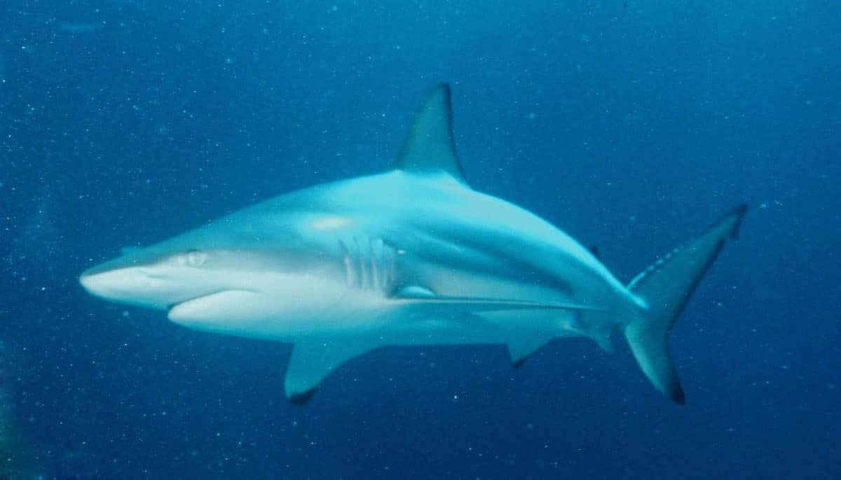 requin bordé
