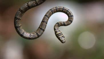 serpent volant