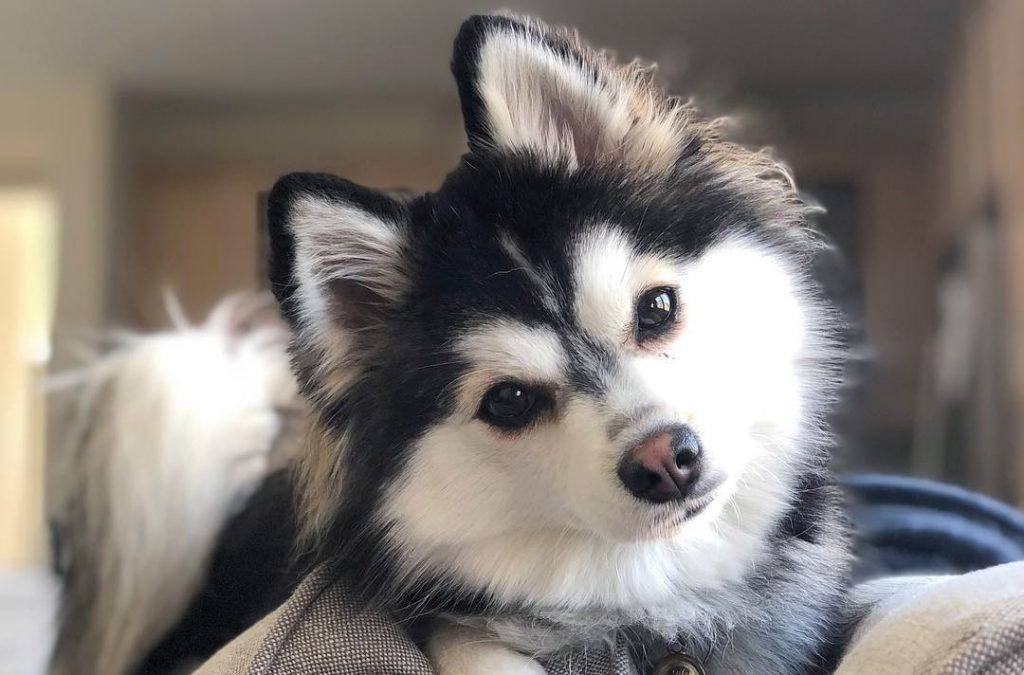 chien pomsky