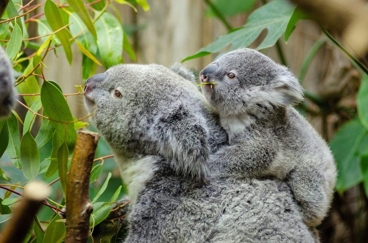 koala bébé