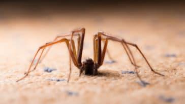 araignée tégénaire