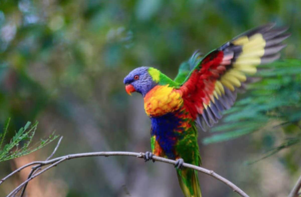 perroquet loriquet à tête bleue