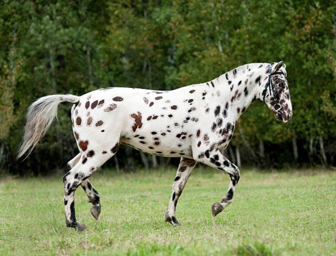 cheval Knabstrup