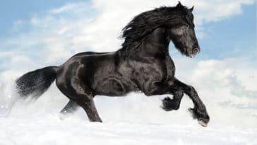cheval noir frison
