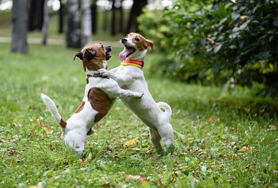 chiens jouent