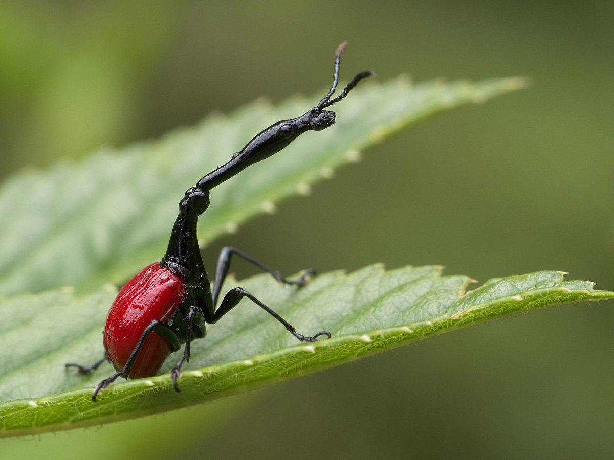 scarabée girafe