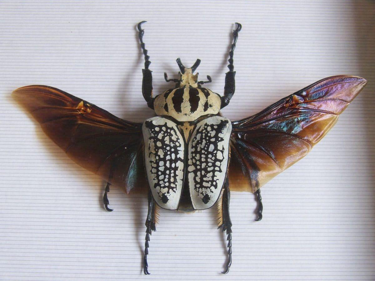 scarabée goliath