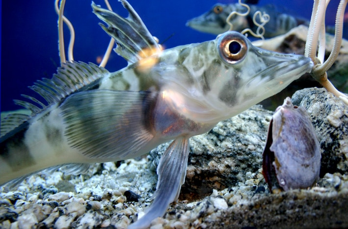 poisson antarctique