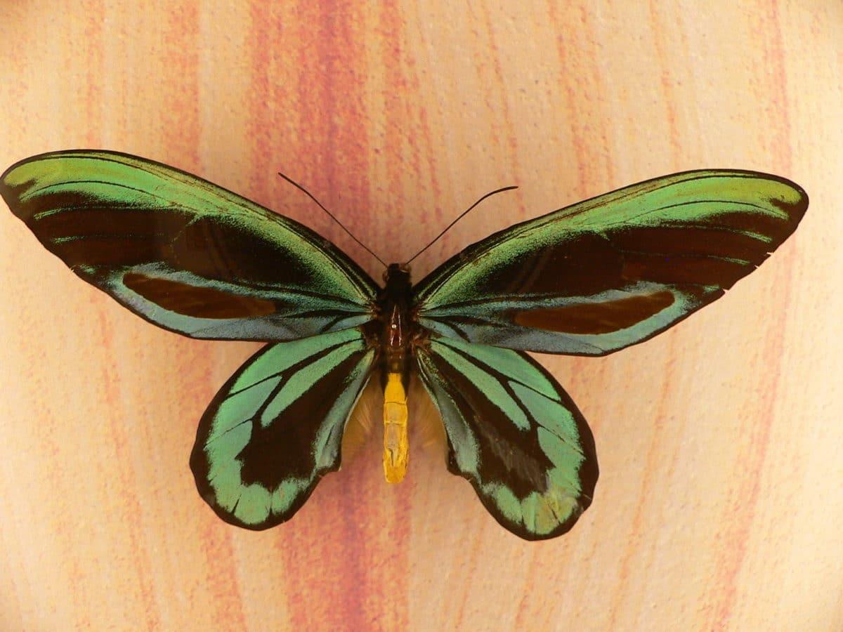 papillon de la reine alexandra