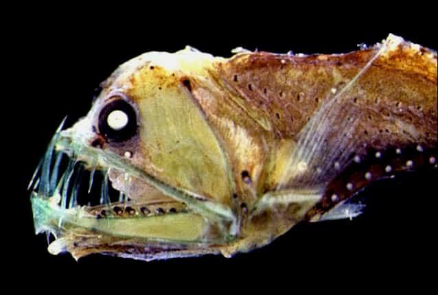 poisson vipère