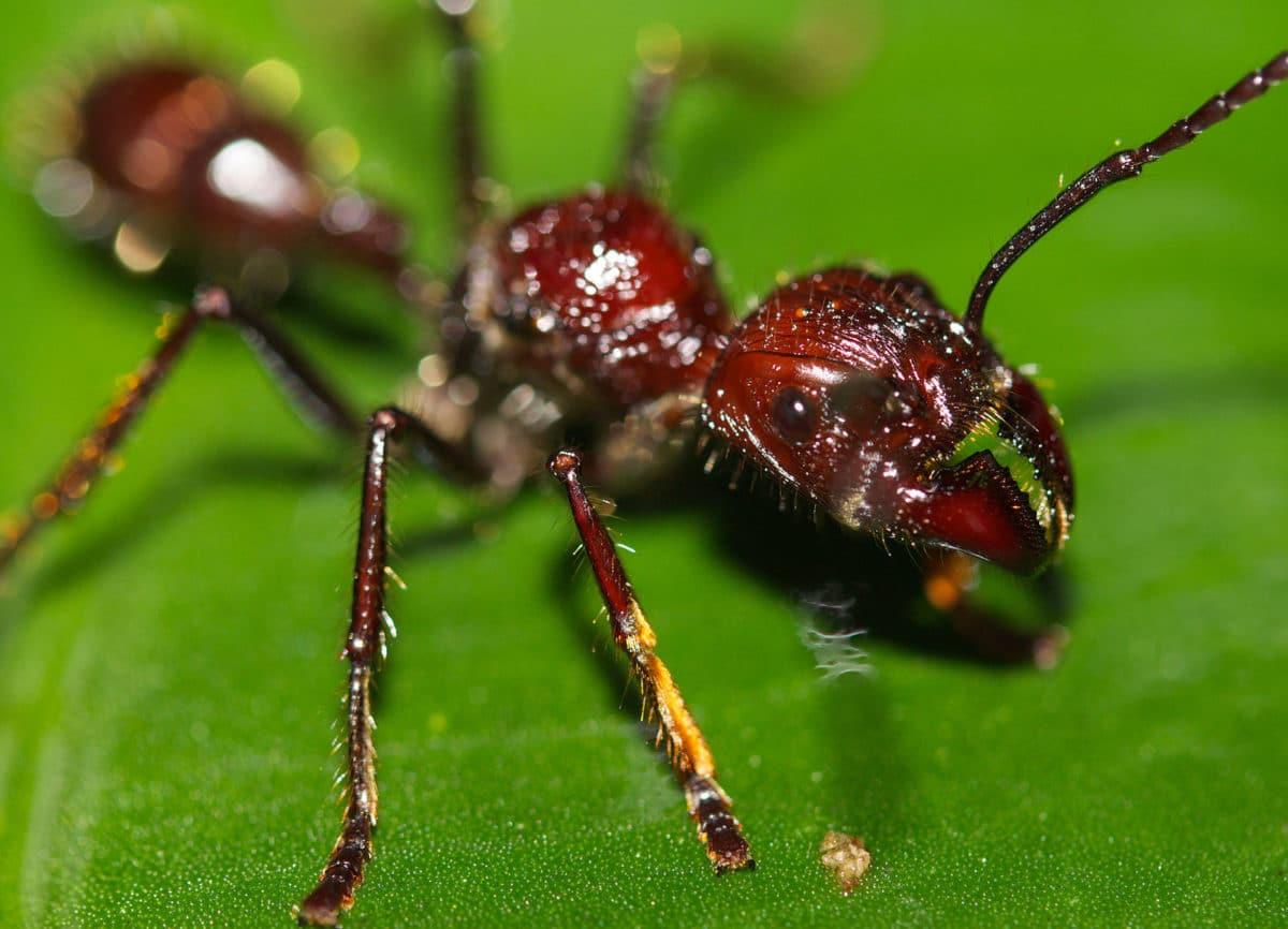fourmi paraponera