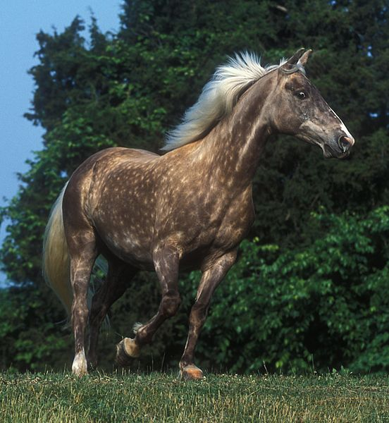 cheval rocky mountain horse