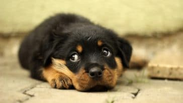 chiot rottweiler couché