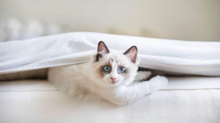chaton ragdoll lit
