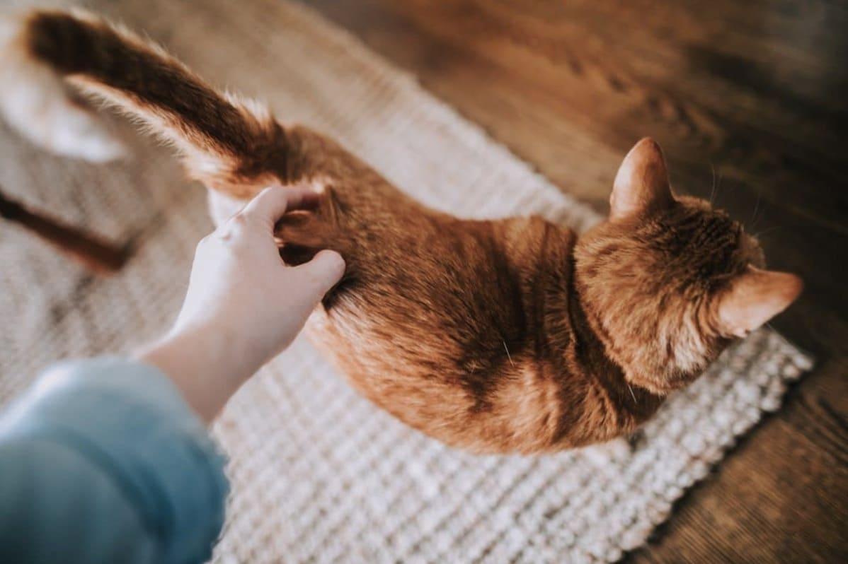 caresse chat
