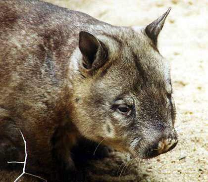 wombat à nez poilu du nord