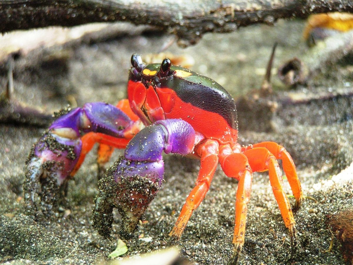 crabe halloween
