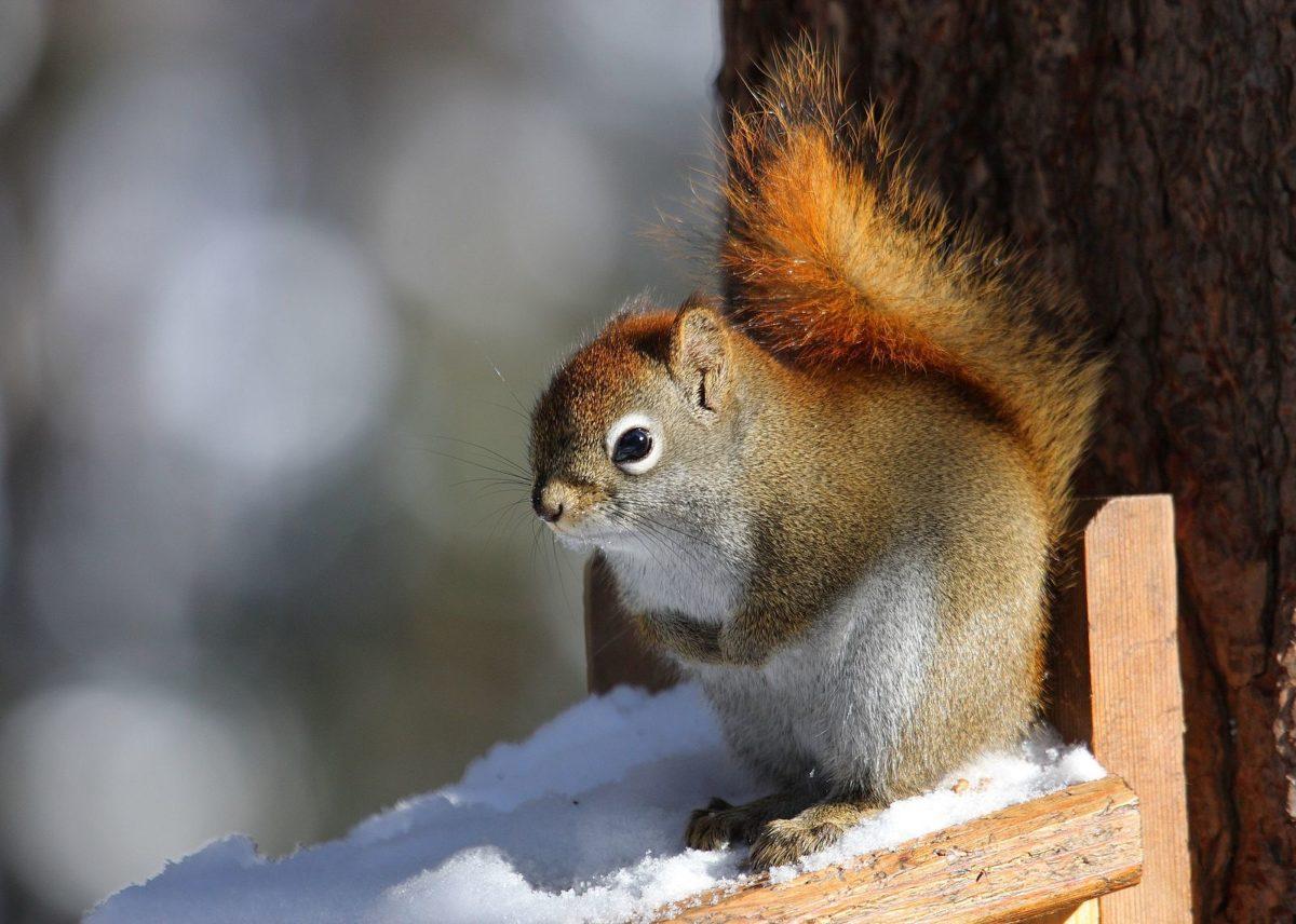 écureuil roux américain