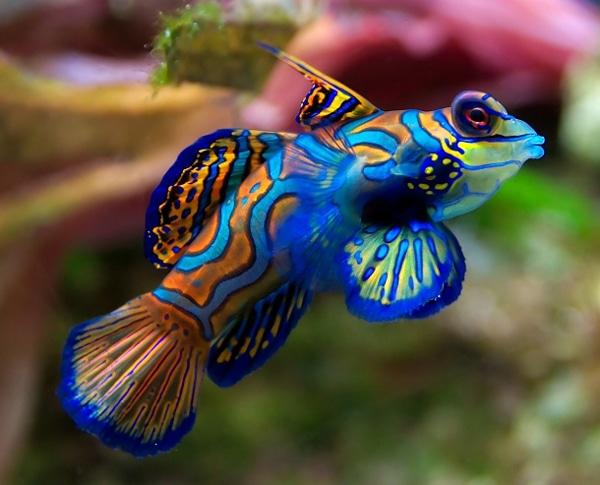 poisson cachemire
