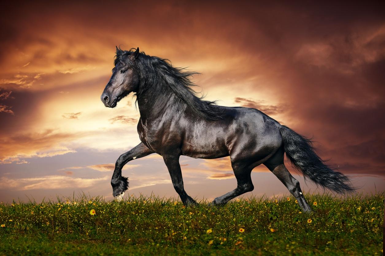 cheval frison